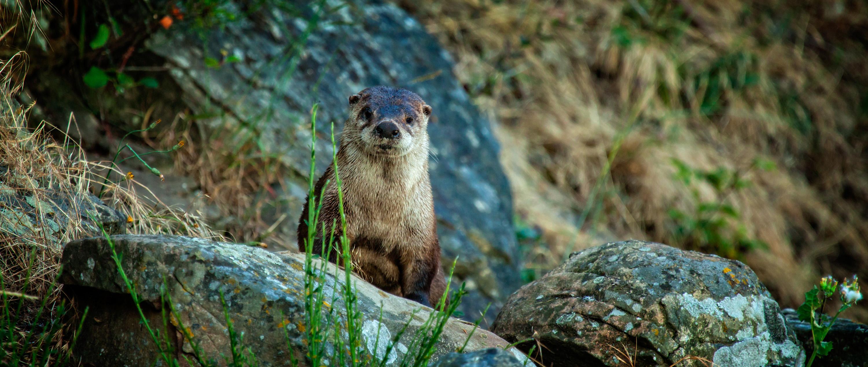 otter (header)